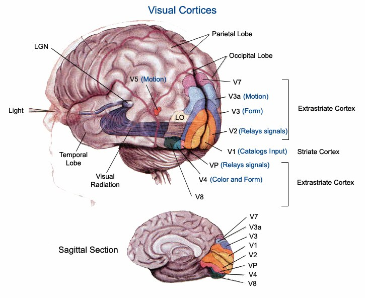 Visual Cortices
