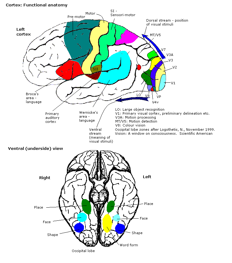 The dorsal and ventral streams go through different parts of the cortex and integrate different inforamtion