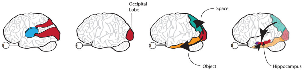 The vetnral and dorsal streams combine at the hippocampus