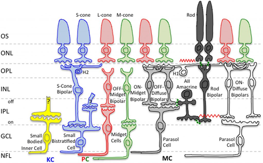 Rod and cone pathways leading to parvocellular, koniocellular and magnocellular cells in the LGN